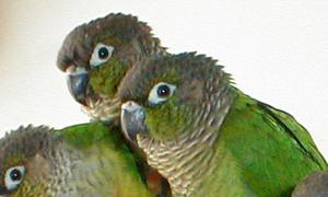 Как отучить попугая грызть обои: советы