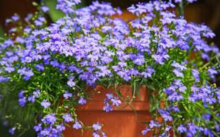 Лобелия нежная: выращивание и уход, место в саду