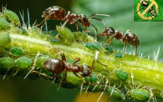 Как избавиться от муравьев в саду народными средствами, химическими препаратами